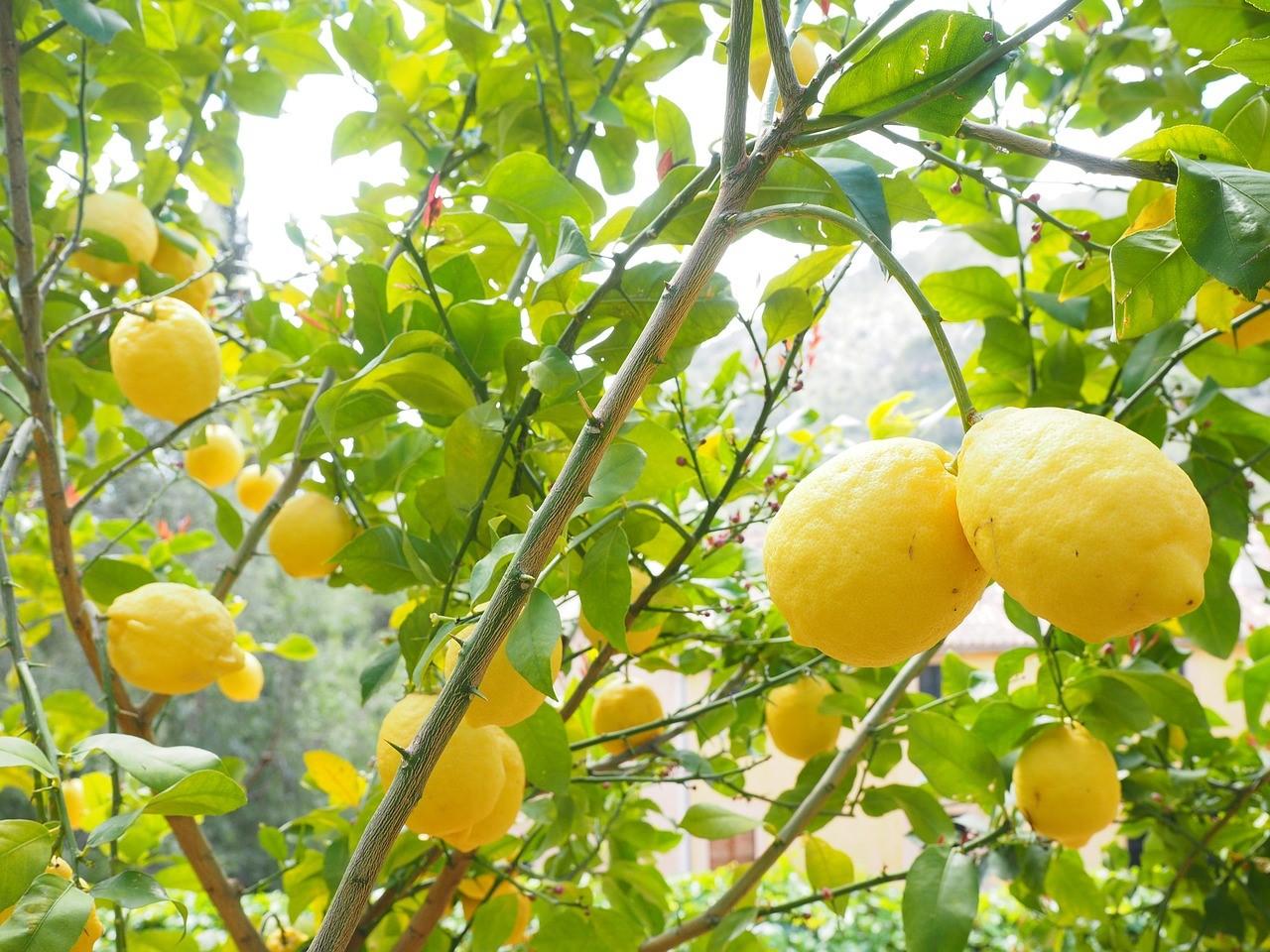 【レモン白湯】って体に良いの?口コミや効果、レシピを大公開!