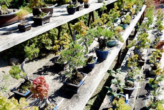 ミニ盆栽の育て方!室内での栽培はどこまで可能?