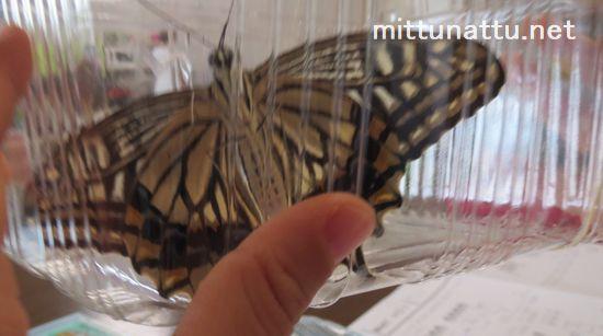 アゲハ蝶の幼虫!食べ物など実際に飼った経験を伝授します!